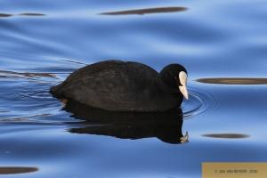 Gestatten, nix Duck - Blässhuhn! - Part I