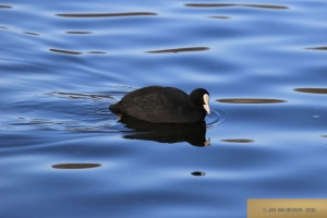 Gestatten, nix Duck - Blässhuhn! - Part II