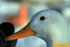 Gestatten, auch Duck! - Part I