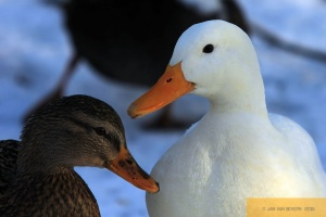 Gestatten, auch Duck!