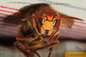 The Dead Hornet!