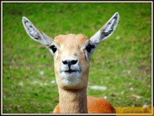 Hirschziegen-Antilope