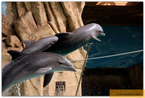 Große Tümmler / Delphine