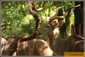 Grosser Kudu