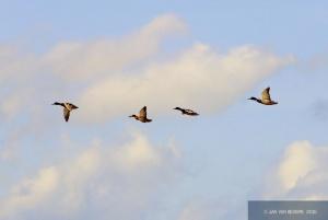 Ducks to Go